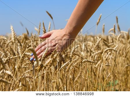 Left hand maiden with blue manicure regard spikelets of wheat against the blue sky.