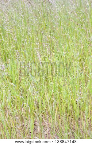 Closeup of tall green grass or hay