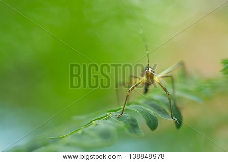 Grasshopper Juvenile perching on green leaves as background