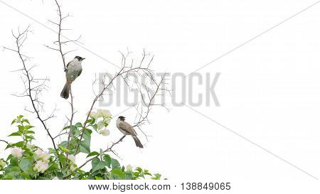 Sooty-headed Bulbul As Background Isolate On White
