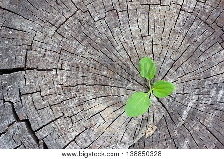 Ecology concept. Rising sprout plantain of old wood and symbolizes the struggle for a new life
