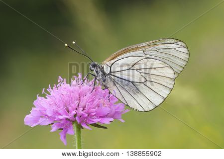 Female of Black-veined White butterfly on the pink flower