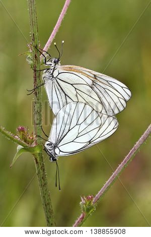 Mating of two Black-veined White butterfly Aporia crataegi