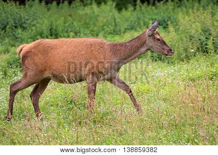 Red deer on the run in the wild