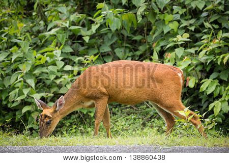 Wild deer finding some food on grass floor. It walked in front of green tree in tropical forest of Thailand.