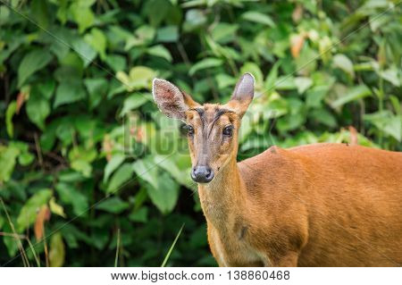 Close focus on head of wild deer looking forward when hearing strange kind of sound. It stood in front of green tree in tropical forest of Thailand.