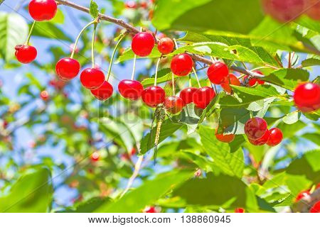 Dragonfly on juicy red cherries in the orchard on a background of green foliage and blue sky backlit