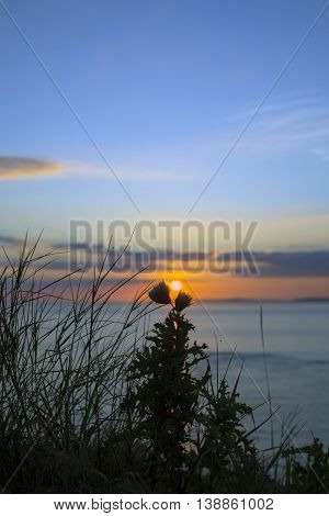 beautiful yellow sunset over loop head with silhouetted wild tall thistles on the wild atlantic way in ireland