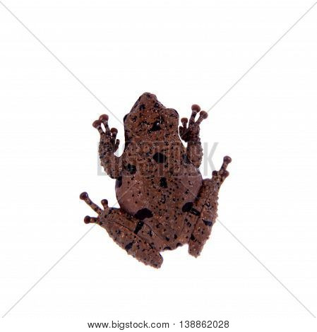 Star mossy frog, Theloderma stellatum, rare spieces of frog, isolated on white background