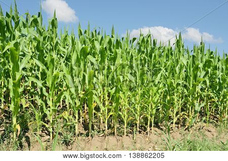 Cornfield. Agriculture and farming in eastern Europe