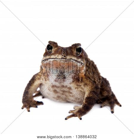 The bony-headed toad, Ingerophrynus galeatus, isolated on white background