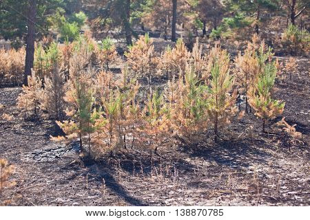 Consequences of grassroots wildfire in the pine forest