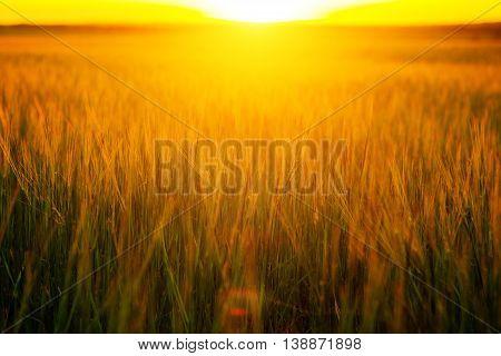 Sunset Over Wheat Field.