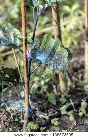 Preparing and spray verdigris on vegetable garden - copper sulphate