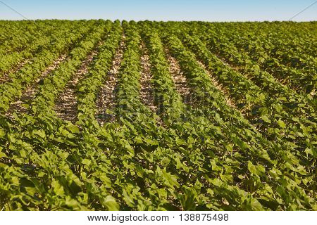 Agriculture landscape with green plants and clean blue sky. Countryside farmland