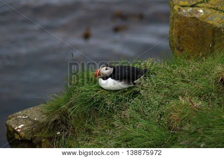 Iceland north bird puffin resting on the grass