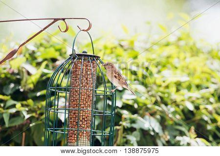 Tree Sparrow At Feeder In Dutch Garden