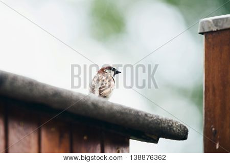 House Sparrow (passer Domesticus) Adult Male, Perched On Roof, Leiden, The Netherlands, June