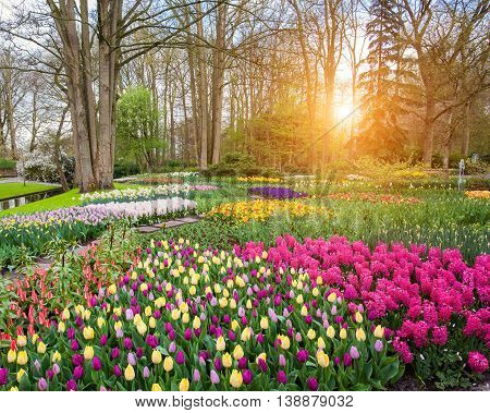 Beautiful blooming flowers at sunset in Keukenhof park in Netherlands. Tulips and hyacinths with trees. Nature background