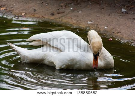 Swan makes bathing ritual at lunchtime a hot summer day.