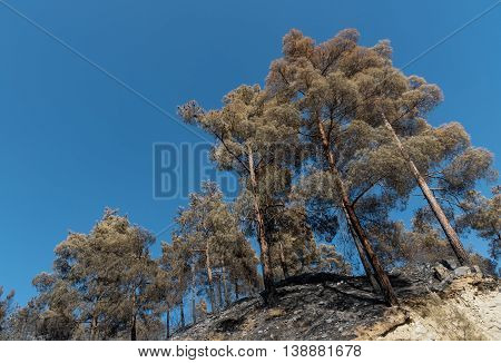 Pine forest trees standing half burned after a forest fire at Troodos mountains in Cyprus which created a huge environmental damage.