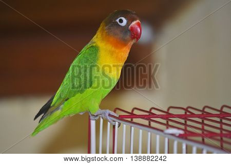Masked lovebird or Agapornis personatus sitting on the cage.