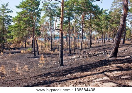 Consequences of grassroots wildfire in the pine forest.
