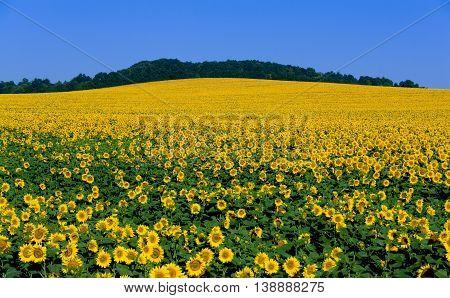 Big field flowering sunflower on background blue sky