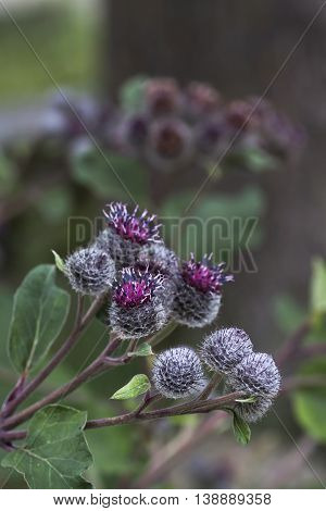 some very sticky and prickly burdock flowers