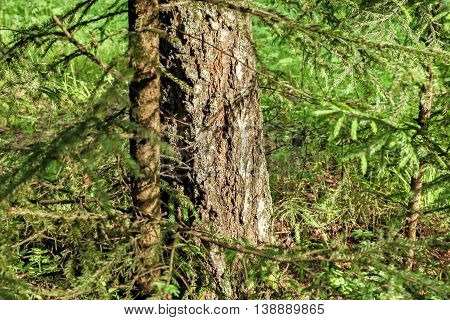 Big tree trunk in green sunny forest