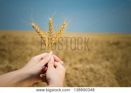 Close up of female hands holding wheat ears on harvest field. Agriculture, farm and food industry concepts.