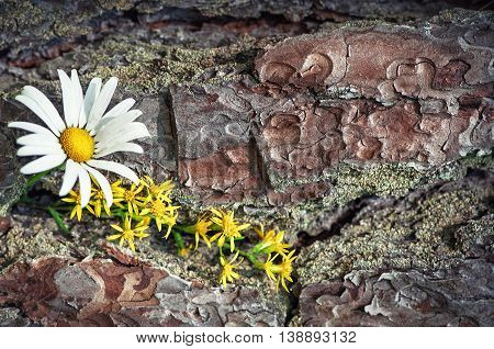 Spring white and yellow flowers on the old bark