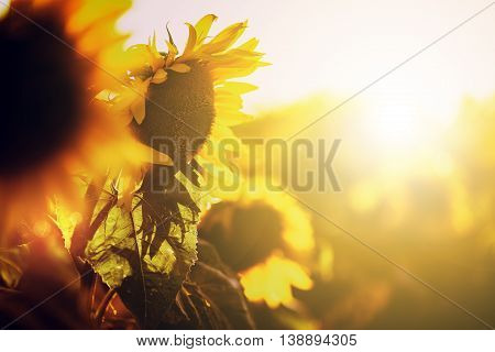 Beautiful yelow sunflower in field at summer