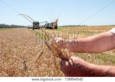 Hand holding the ripe wheat ear in sunny summer day closeup