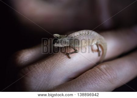 Close up shot of the small nocturnal chameleon sitting on the man's finger. Focus on the chameleon. Madagascar