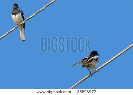 Oriental Magpie Robin bird in black and white perching on a steel cable against blue sky in Thailand, (Copsychus saularis)