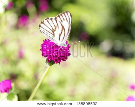Close up white butterfly on Globe amaranth flower in the garden at the afternoon