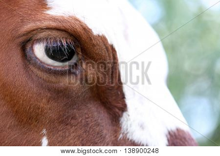 Eye of a cow, close up