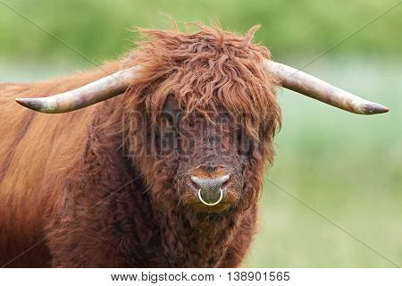 Closeup portrait of a Scottish highland bull seen from the front