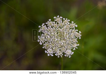 Wild carrot flower in full bloom during spring
