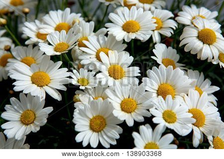 Daisy flowers background.Macro of beautiful white daisies flowers.