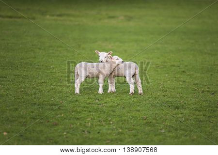 Two young baby spring lambs and sheep in a green farm field