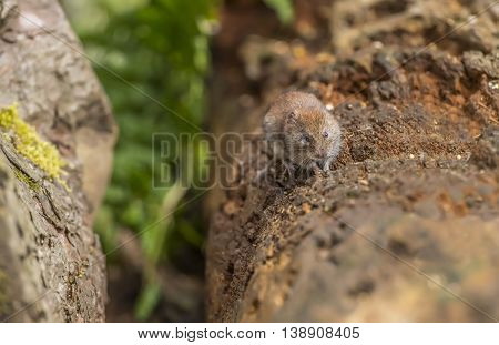 Vole Nibbling A Seed Sitting On A Tree Trunk