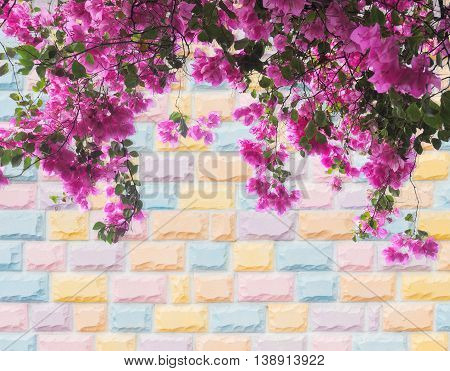 Pink Bougainvillea flower on colorful pastel brick wall background
