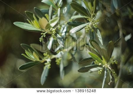 Flowering olive tree (Olea europaea) with extremely shallow depth of field blurry background
