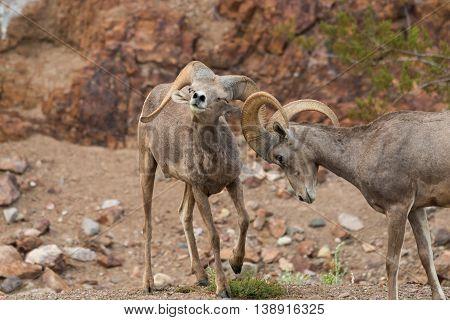 desert bighorn sheep rams during the rut