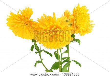 flowers yellow chrysanthemum on a white background
