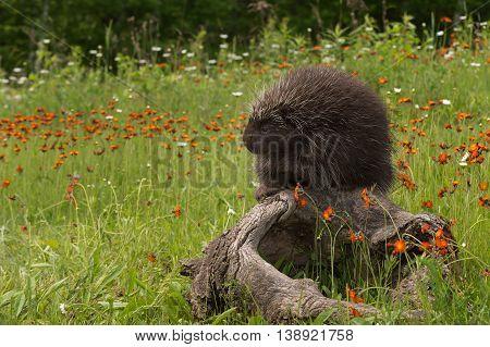 Porcupine (Erethizon dorsatum) Paw Up Atop Log - captive animals