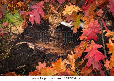 Striped Skunk (Mephitis mephitis) Peeks Out from Leaf Strewn Log - captive animal