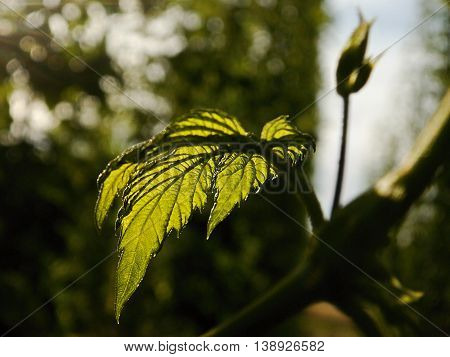 detail of hop garden with green leaf in the region Ceske stredohori between the villages Brozany nad Ohri and Doksany near river Ohre in czech nature